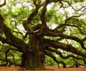 angel-oak-tree-2009-louis-dallara