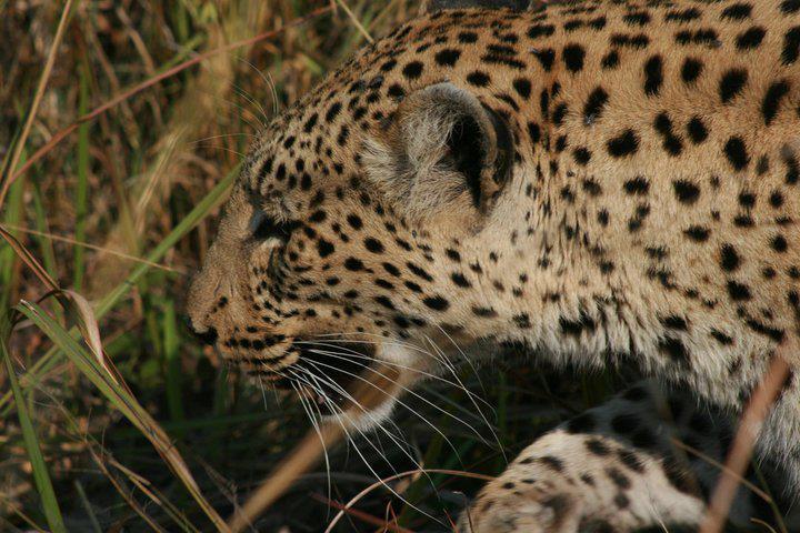03  leopardo