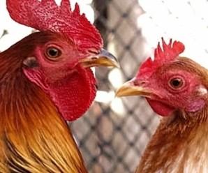 gallo-e-gallina