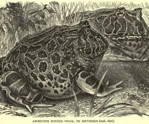 ceratophrysornatalyd